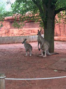 La pluie ne nous a pas empêché de voir les kangourous de très près.