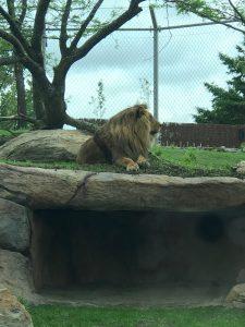 Le lion règne en maître sur son nouveau domaine