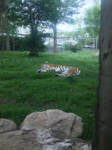 Les lions ne semblaient pas exciter le tigre autant que nous.