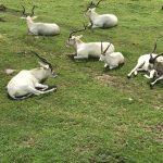 Pendant l'expédition au Parc Safari, on peut voir des animaux qui ont été sauvés de l'extinction grâce à la captivité.