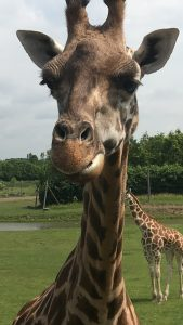 On a pu nourir les girafes à partir du camion de brousse