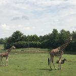 On voit très bien le bébé girafe qui a quelques mois à peine.