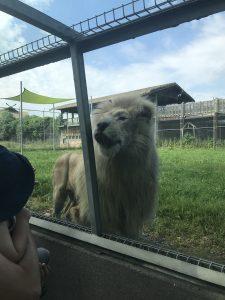 Le déjeuner des lions