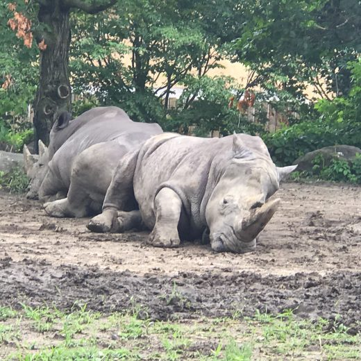 Visite au Zoo de Granby pour rencontrer les rhinocéros